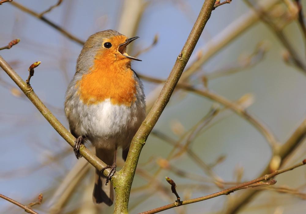 Keine andere Vogelart scheint den Menschen so am Herzen zu liegen wie das Rotkehlchen.