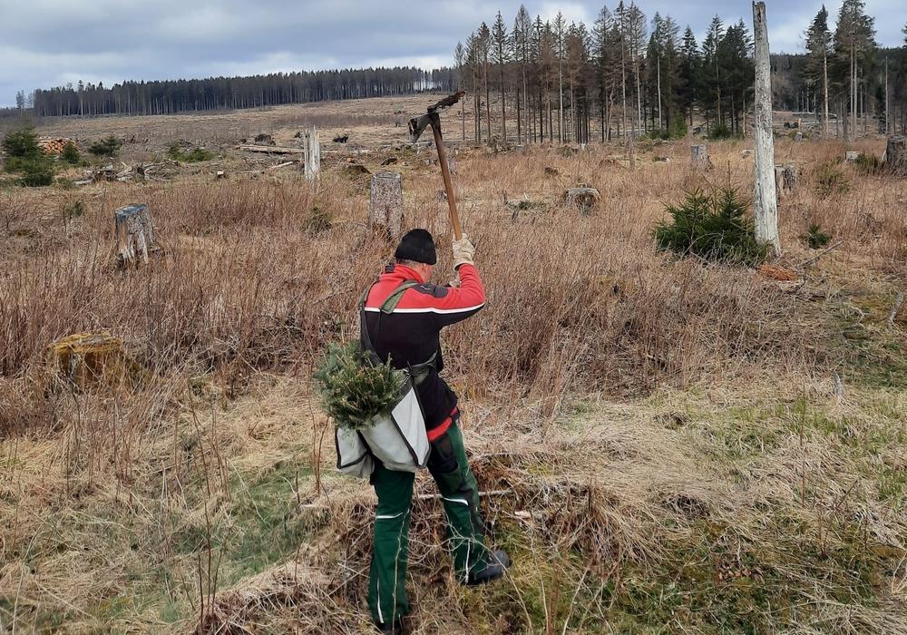 800 Weiß-Tannen sollen zum Tag des Baumes gepflanzt werden.