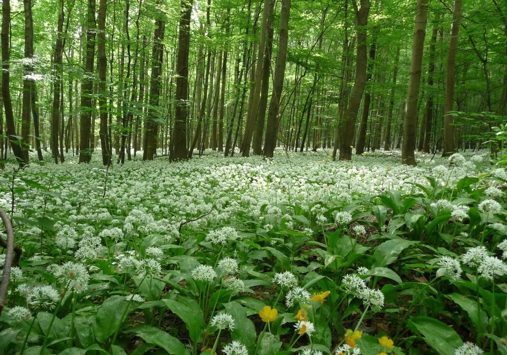 Bärlauchblüte im Nationalpark Harz.
