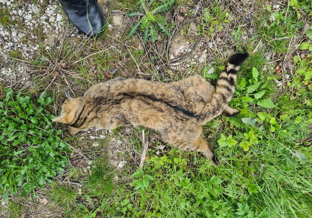 Die Wildkatze wurde auf der Straße getötet.