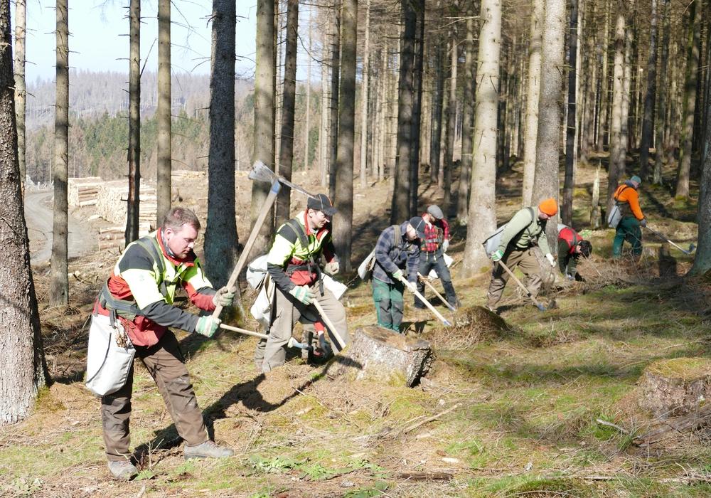 Forstwirte bei der Pflanzung von Mischbaumarten unter abgestorbener Fichte im Harz.