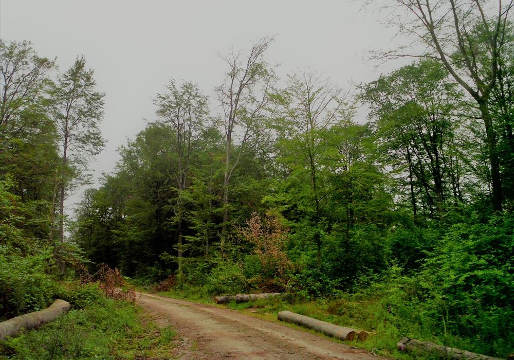 Absterbende Buchen. Die Holznutzung steht nicht im Vordergrund, die Maßnahme soll neben Verkehrssicherungsaspekten aber auch einer drohenden Holzentwertung der absterbenden Bäume zuvorkommen.